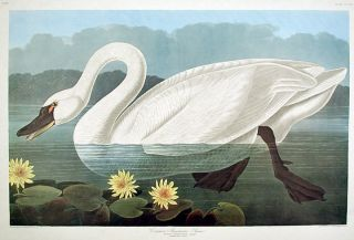 "Common American Swan. From ""The Birds of America"" (Amsterdam Edition). John James AUDUBON"
