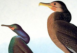 "Violet Green Cormorant, Townsend's Cormorant. From ""The Birds of America"" (Amsterdam Edition)"