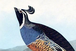 "Californian Partridge. From ""The Birds of America"" (Amsterdam Edition)"