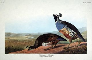 "Californian Partridge. From ""The Birds of America"" (Amsterdam Edition). John James AUDUBON"