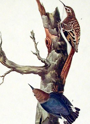 "Brown Creeper, Californian Nuthatch. From ""The Birds of America"" (Amsterdam Edition)"