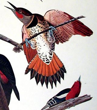 "Hairy Woodpecker, Red-bellied Woodpecker, Red-shafted Woodpecker, Lewis Woodpecker, Red-breasted Woodpecker. From ""The Birds of America"" (Amsterdam Edition)"