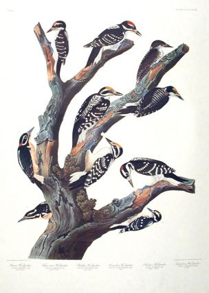 Maria's Woodpecker, Three-toed Woodpecker, Phillips' Woodpecker, Canadian Woodpecker, Harris's...