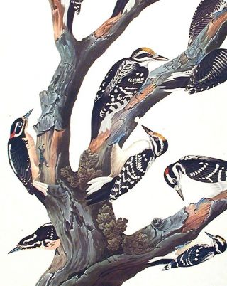 "Maria's Woodpecker, Three-toed Woodpecker, Phillips' Woodpecker, Canadian Woodpecker, Harris's Woodpecker, Audubon's Woodpecker. From ""The Birds of America"" (Amsterdam Edition)"