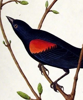 """Prairie Starling. From """"The Birds of America"""" (Amsterdam Edition)"""