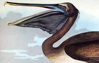 "Brown Pelican. From ""The Birds of America"" (Amsterdam Edition)"