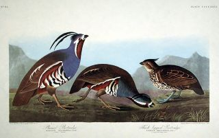 "Plumed Partridge, Thick-legged Partridge. From ""The Birds of America"" (Amsterdam Edition). John..."