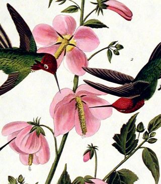 "Columbian Hummingbird. From ""The Birds of America"" (Amsterdam Edition)"