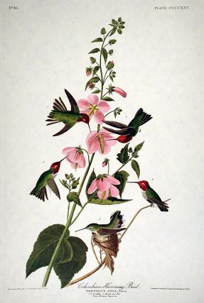 "Columbian Hummingbird. From ""The Birds of America"" (Amsterdam Edition). John James AUDUBON"