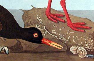 "White-legged Oyster-catcher, Slender-billed Oyster-catcher. From ""The Birds of America"" (Amsterdam Edition)"