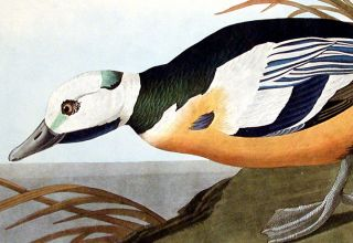"Western Duck. From ""The Birds of America"" (Amsterdam Edition)"