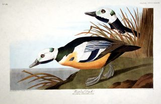 "Western Duck. From ""The Birds of America"" (Amsterdam Edition). John James AUDUBON."