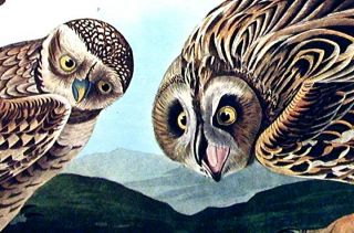 "Burrowing Owl, Large-headed Burrowing Owl, Little night Owl, Columbian Owl, Short-eared Owl. From ""The Birds of America"" (Amsterdam Edition)"