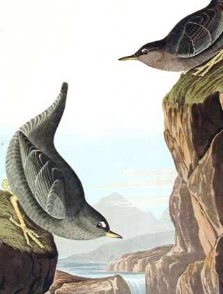 "Columbian Water Ouzel, Arctic Water Ouzel, Bartram's Vireo, Short-legged Pewee, Rocky Mountain Fly-catcher. From ""The Birds of America"" (Amsterdam Edition)"