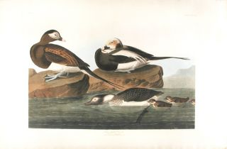 Long-Tailed Duck [Oldsquaw]. John James AUDUBON.