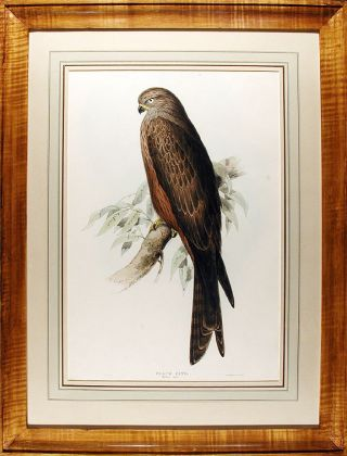 Black Kite. Milvus ater. Edward LEAR