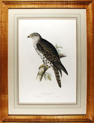 Honey Buzzard. Pernis apivorus. Edward LEAR