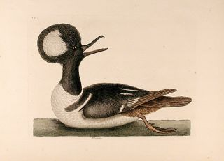 Mergus [Hooded Merganser]. Mark CATESBY