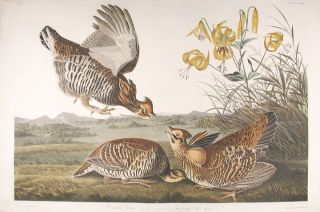 Pinnated Grouse [Greater Prairie-Chicken]. John James AUDUBON.