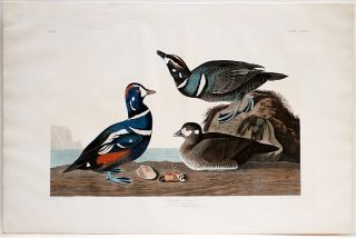 Harlequin Duck. John James AUDUBON