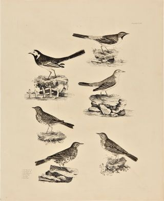 Plate XLIX] 1. Pied Wagtail M. 2. Grey Wagtail M. 3. Yellow Wagtail M. 4. Meadow Pipit 5. Tree...