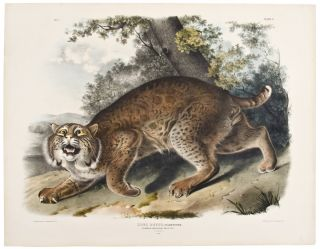 Common American Wild Cat. Male. [Pl. 1]. John James AUDUBON.