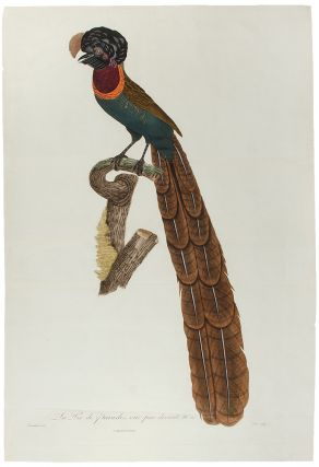 Bird of Paradise] La Pie de paradis, vue par devent, No. 20. [Arfak Astrapia]. Jacques ....