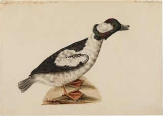[Pair of Original Watercolors of a Buffle-Headed Duck and a King Eider Duck, attributed to Stone]
