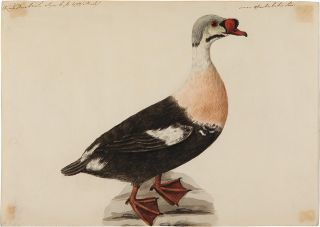 Pair of Original Watercolors of a Buffle-Headed Duck and a King Eider Duck, attributed to Stone]....