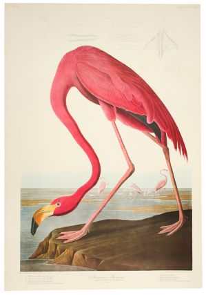 American Flamingo. John James AUDUBON