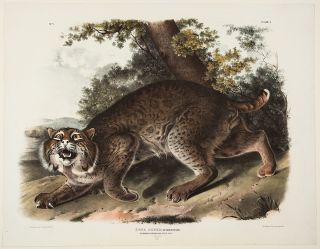 Common American Wild Cat. Male. [Pl. 1]. John James AUDUBON